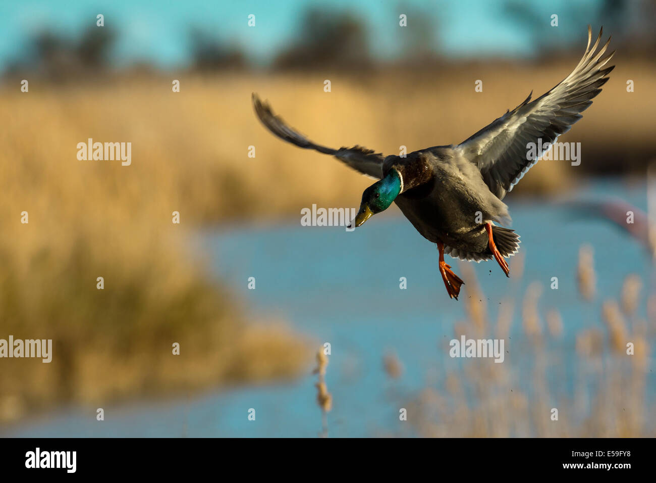 Wild Duck, Anas platyrhynchos - Stock Image