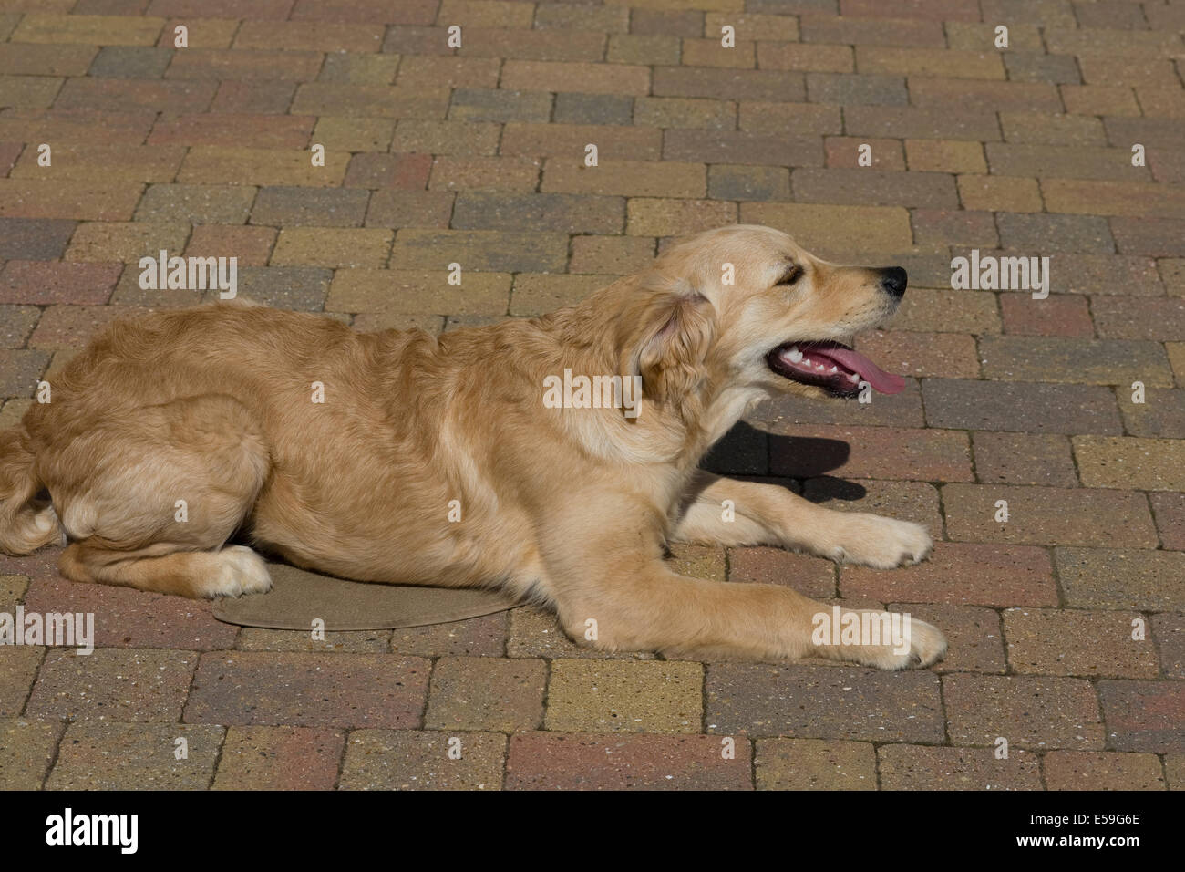 Marsden a 5 month old golden retriever puppy lies on a mat on the block paved grass outside the front of his breeder's - Stock Image