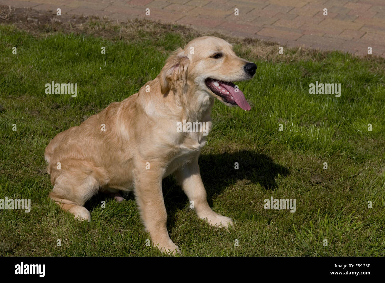 Marsden a 5 month old golden retriever puppy sits on the grass in the front garden of his breeder - Stock Image