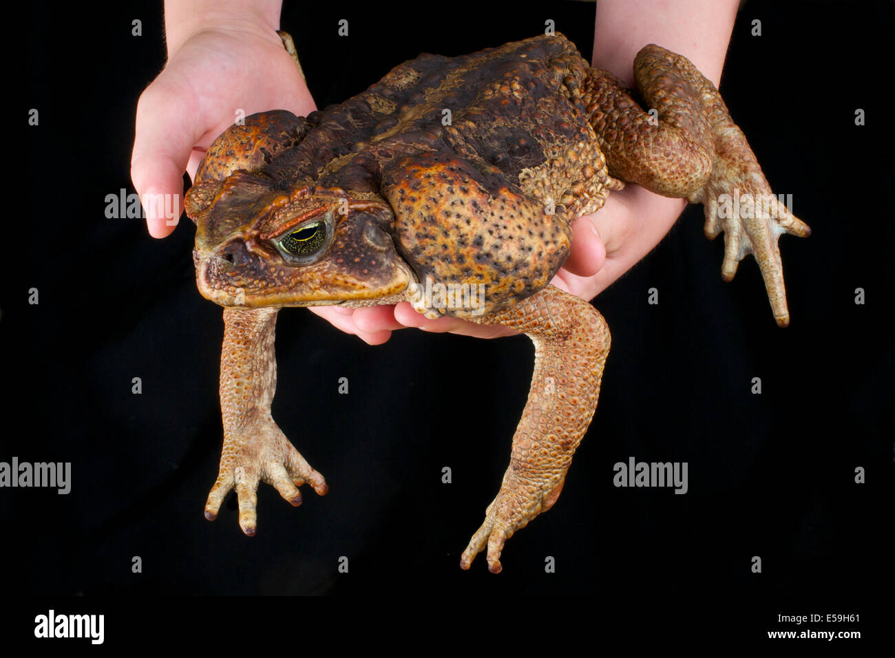 Cane toad / Rhinella marina - Stock Image