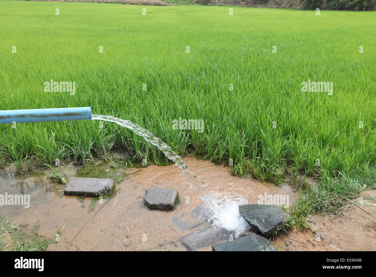 Water supply to paddy rice fields mohuabhata village for Rice pump and motor