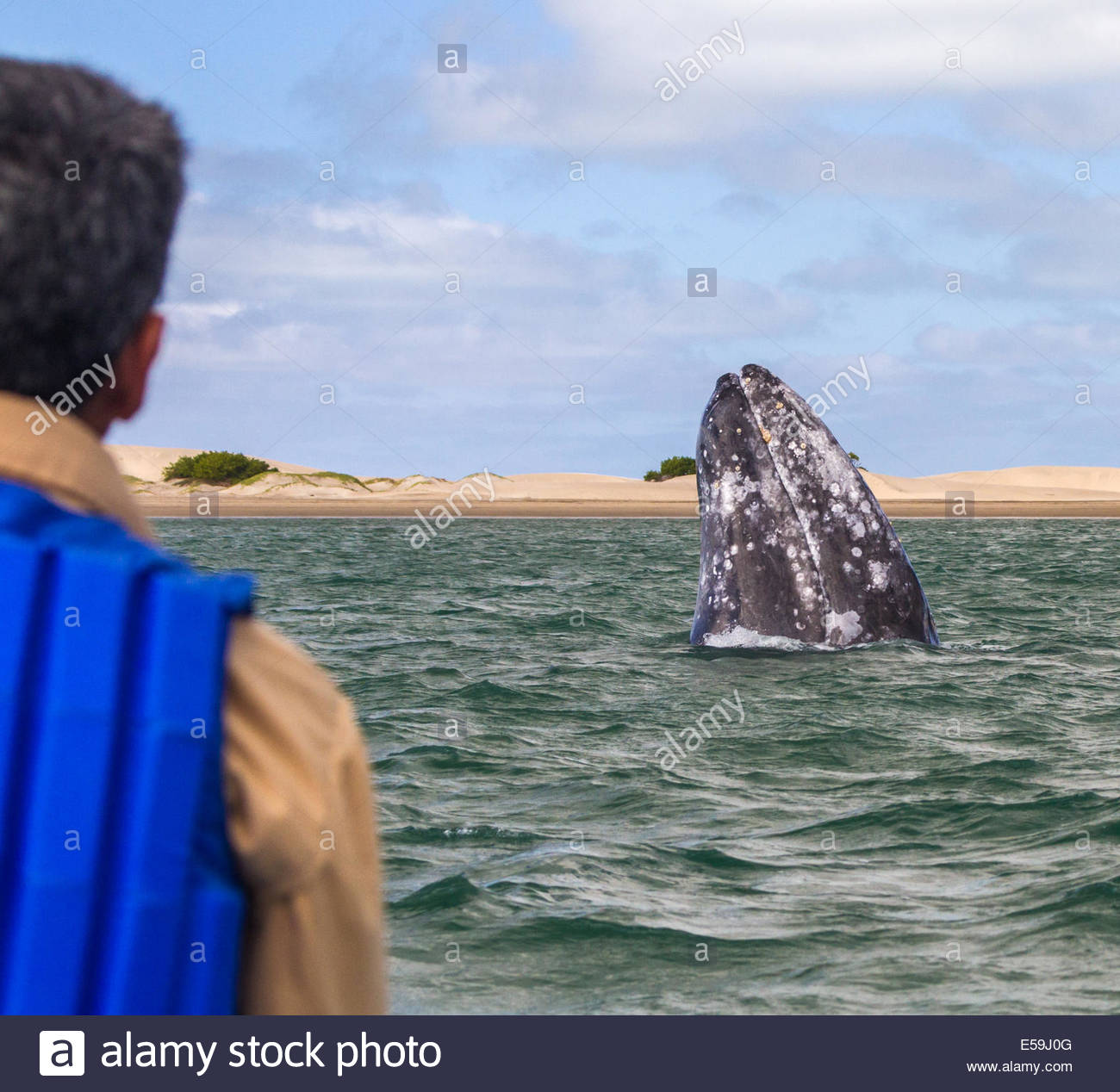 A mother gray whale (Eschrichtius robustus) spy-hops to view surrounding boats. Baja California Sur, Mexico. Stock Photo
