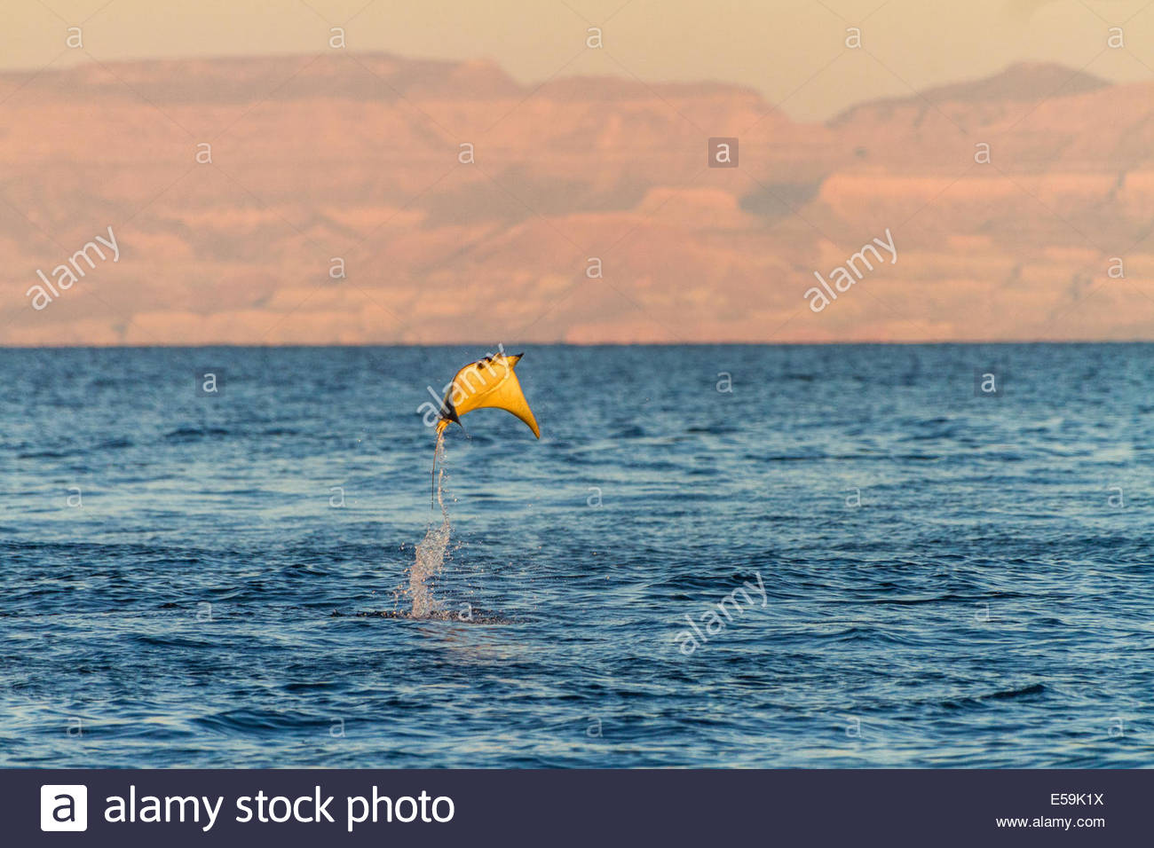 Mobula rays leap from the waters of the Gulf of California, Mexico. - Stock Image