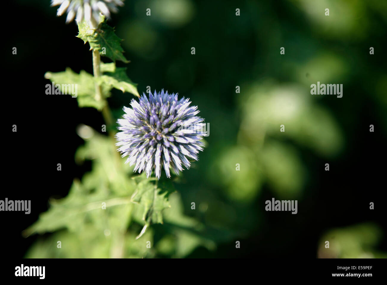 Globe Thistle is a  perennial. This plant is resistant to deer, and attracts bees, butterflies, and other beneficial - Stock Image