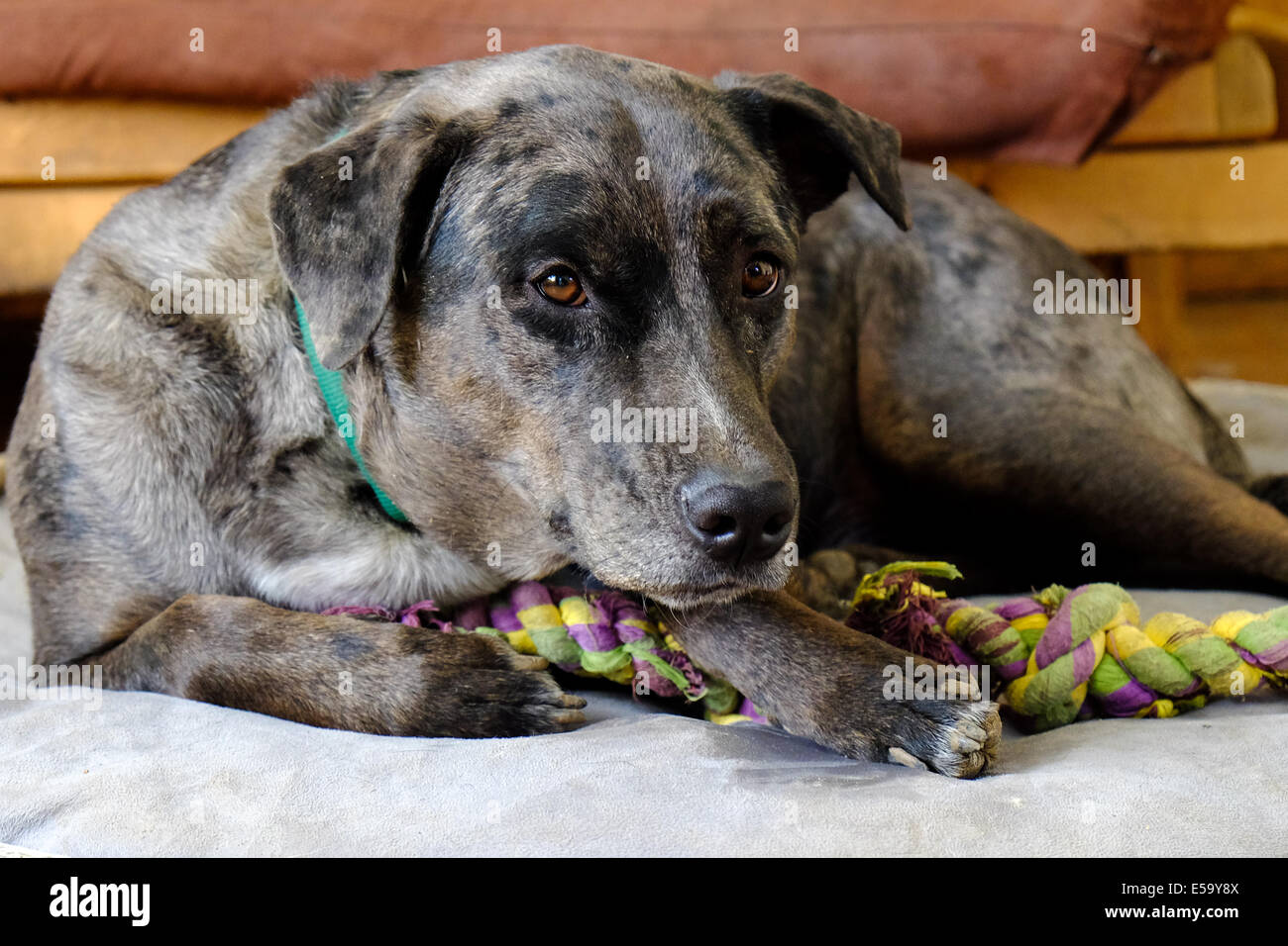 A dog lays on his dog bed with his rope chew toy. - Stock Image