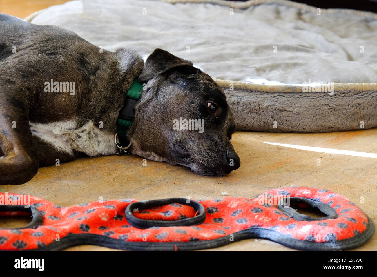 A dog lays on the floor next to his toy and dog bed. - Stock Image