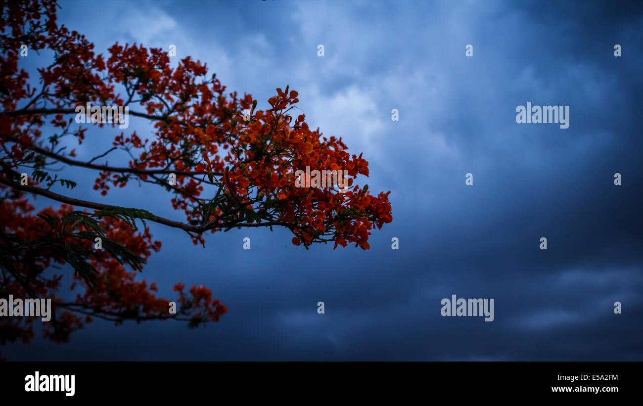 Delonix flower tree branch - Stock Image