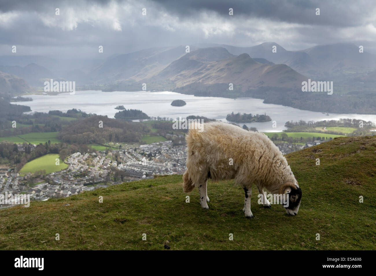 A sheep grazes a ridge overlooking Keswick and Derwentwater in the English Lake District - Stock Image