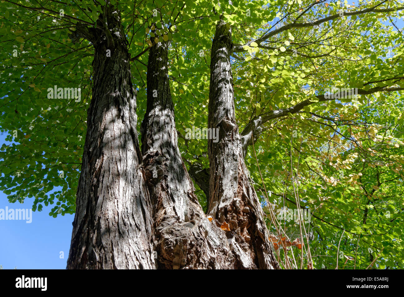 Tall, mop head trees against a blue sky in New England - Stock Image