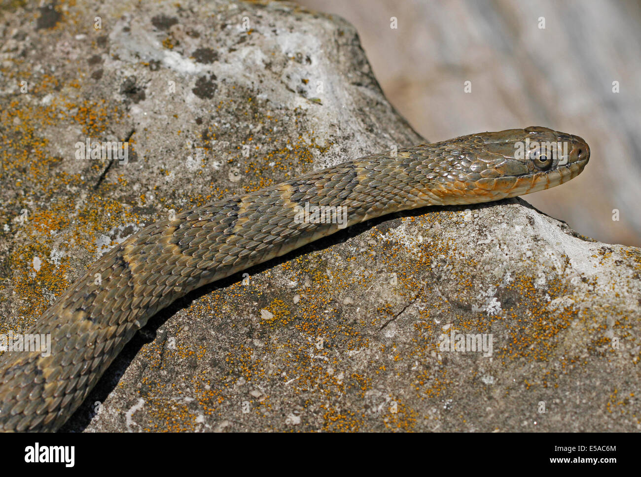 Lake Erie watersnake sunning itself on the rock near the water in Pelee Island, Ontario. - Stock Image