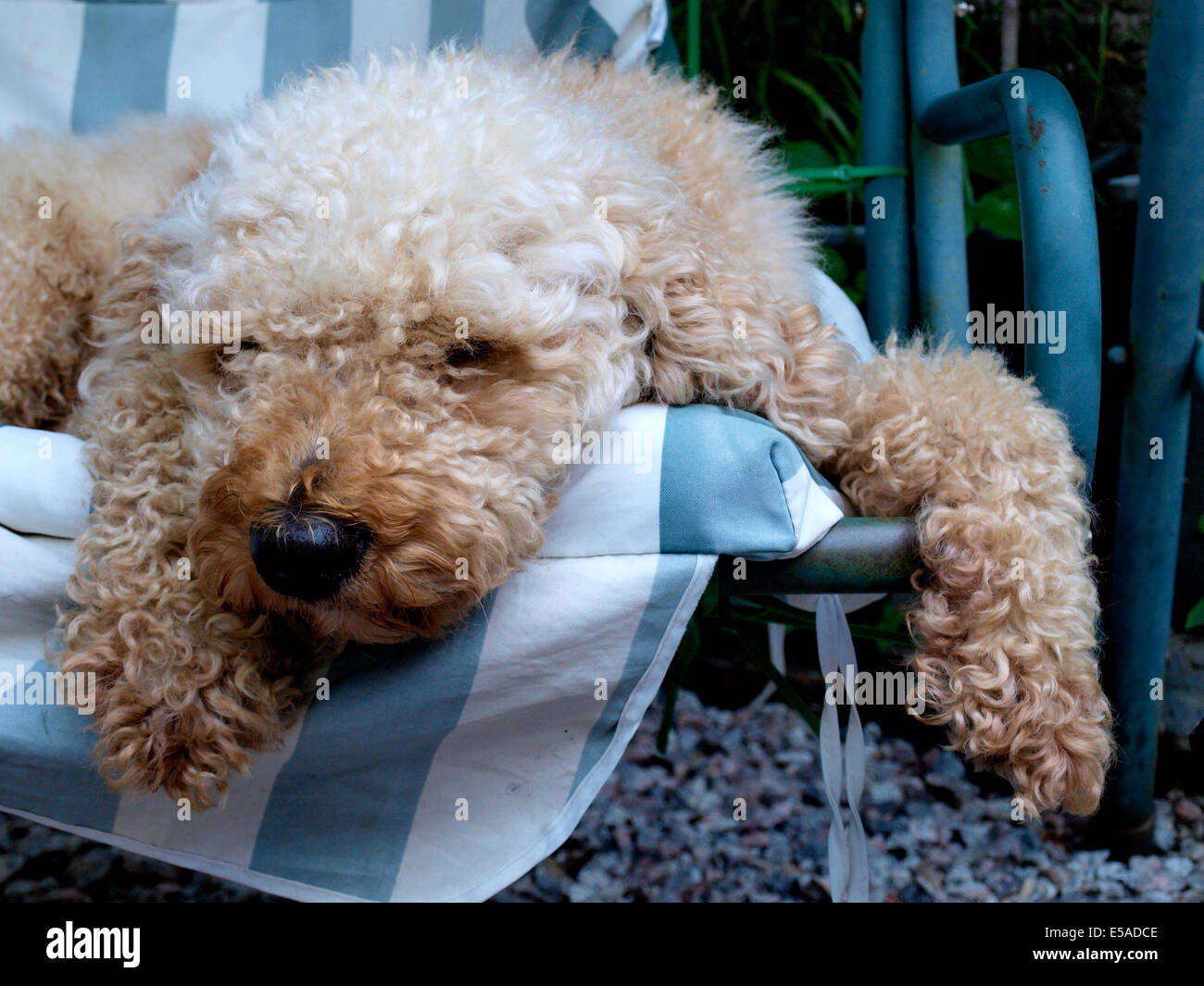 Labradoodle dog asleep on a garden swing seat, UK - Stock Image