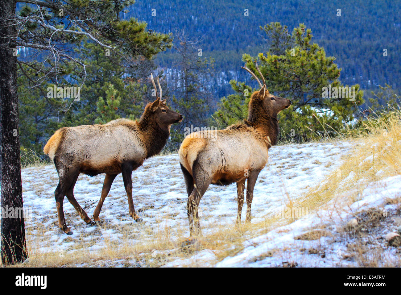 40,913.04351 Two spike antler bull elk standing close broadside, heads up looking forward, winter snowy meadow on - Stock Image