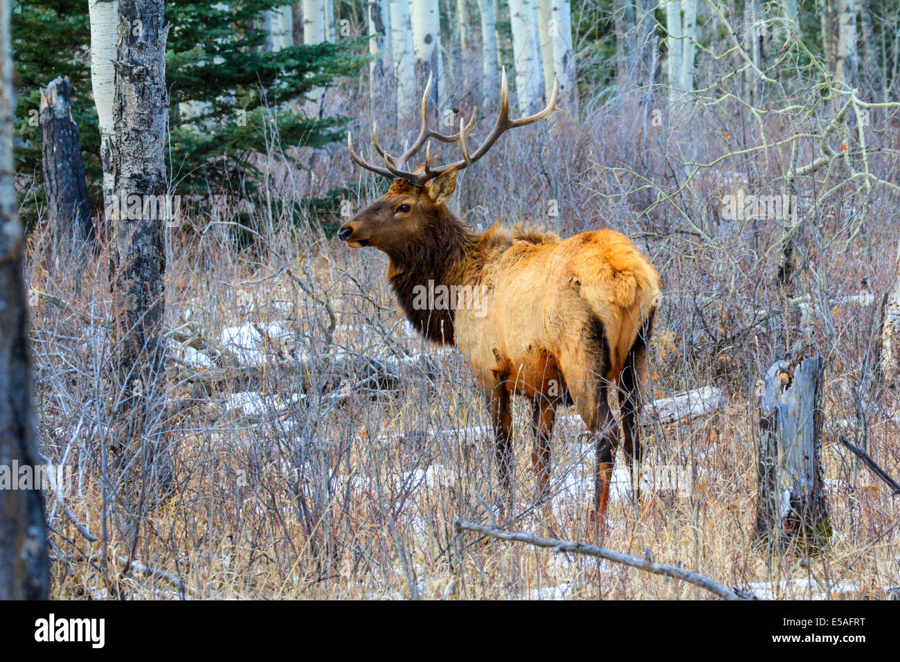 40,914.04394 Bull elk with head up looking sideways, big trophy antlers, standing in a winter snowy aspen and conifer - Stock Image