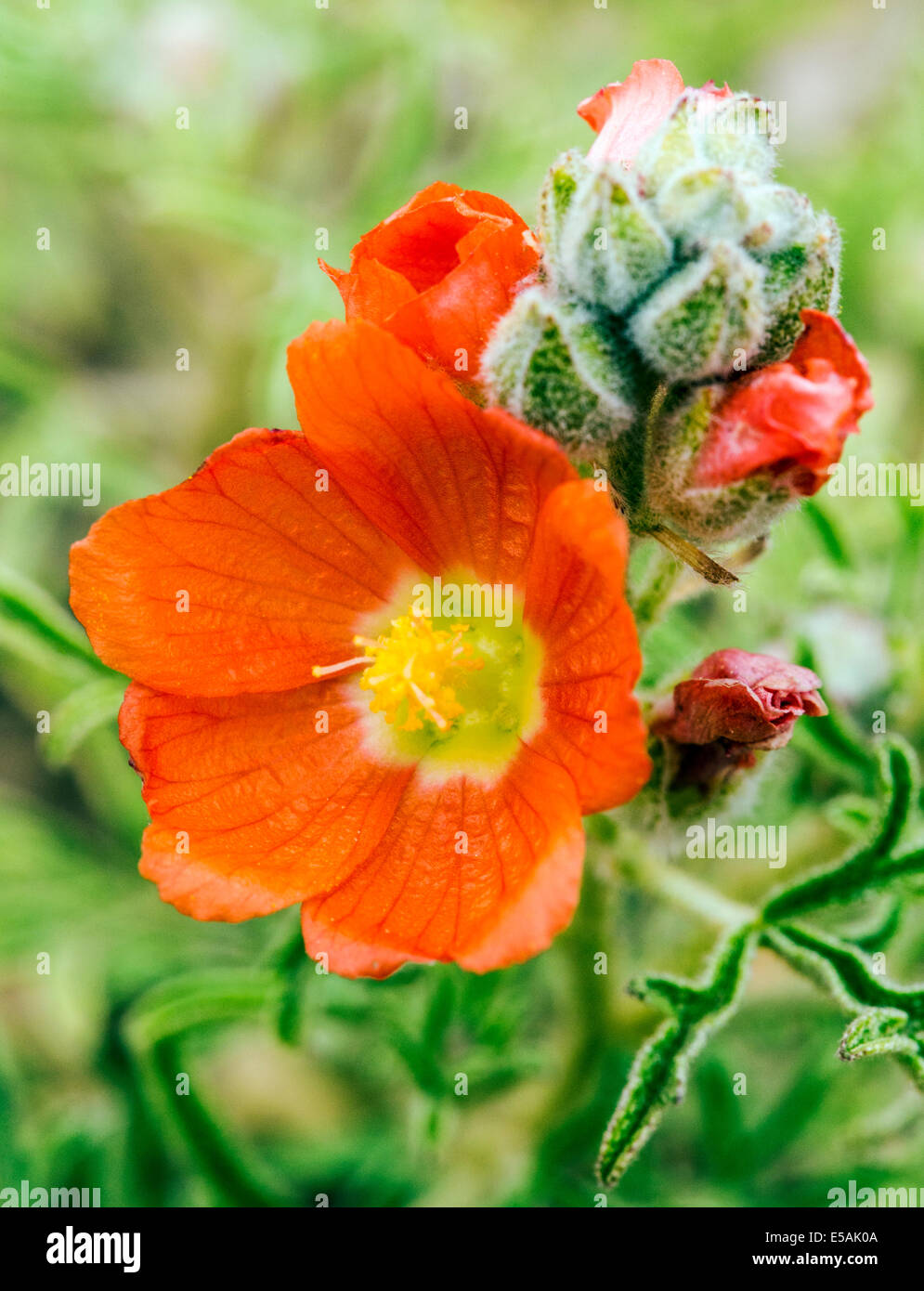 Sphaeralcea coccinea, Coppermallow;  Malvaceae, Mallow; wildflowers in bloom, Central Colorado, USA - Stock Image