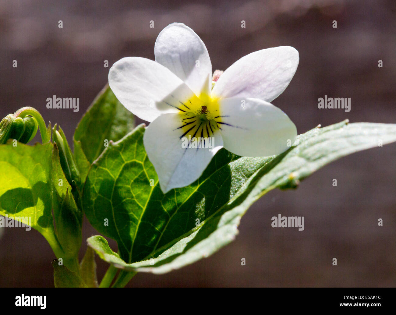 Viola canadensis; scopulorum; Viola scopulorum; White Violet; Violaceae; Violet Family; wildflowers in bloom, Central - Stock Image