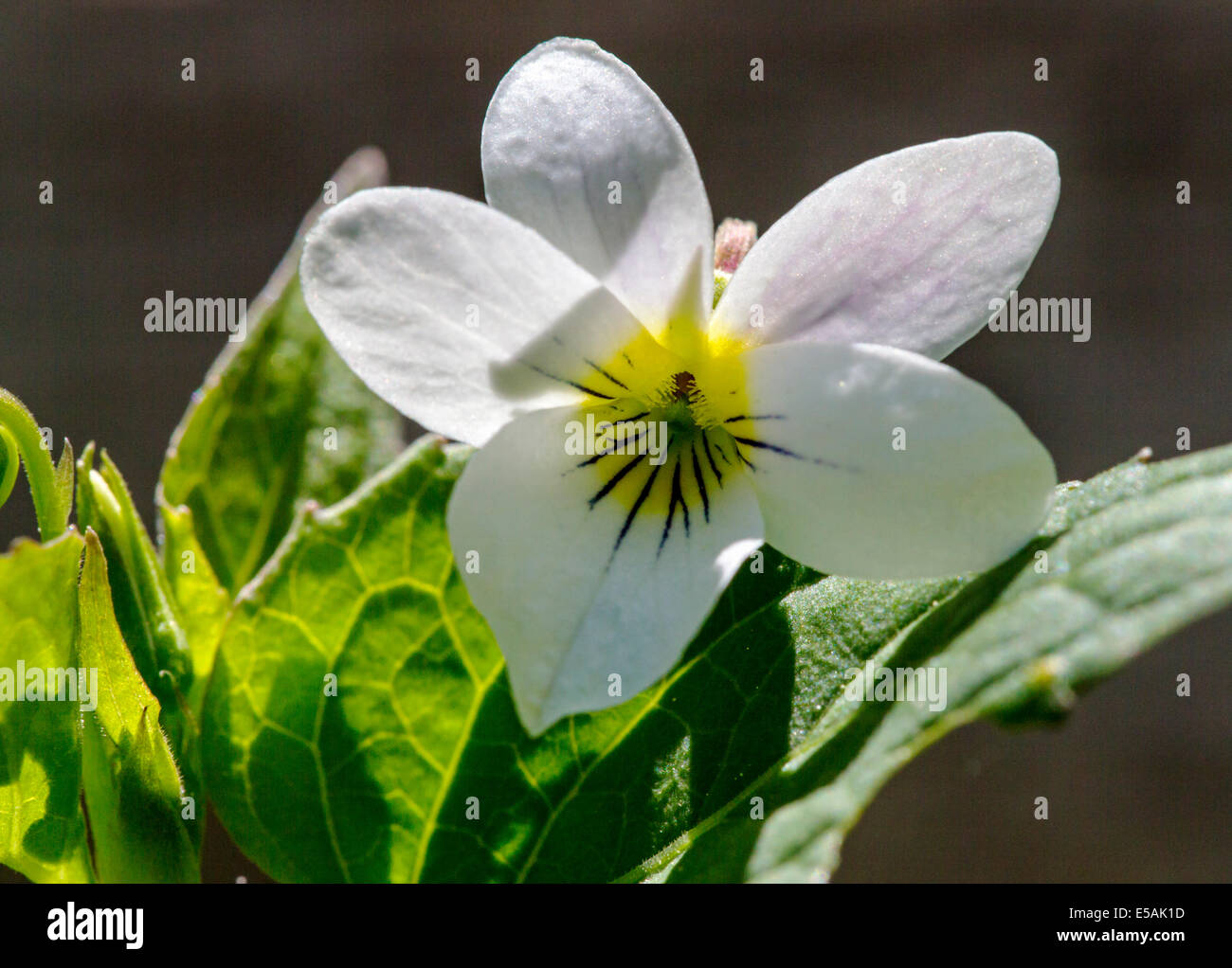 Viola canadensis; scopulorum; Viola scopulorum; White Violet; Violaceae; Violet Family; wildflowers in bloom, Central Stock Photo