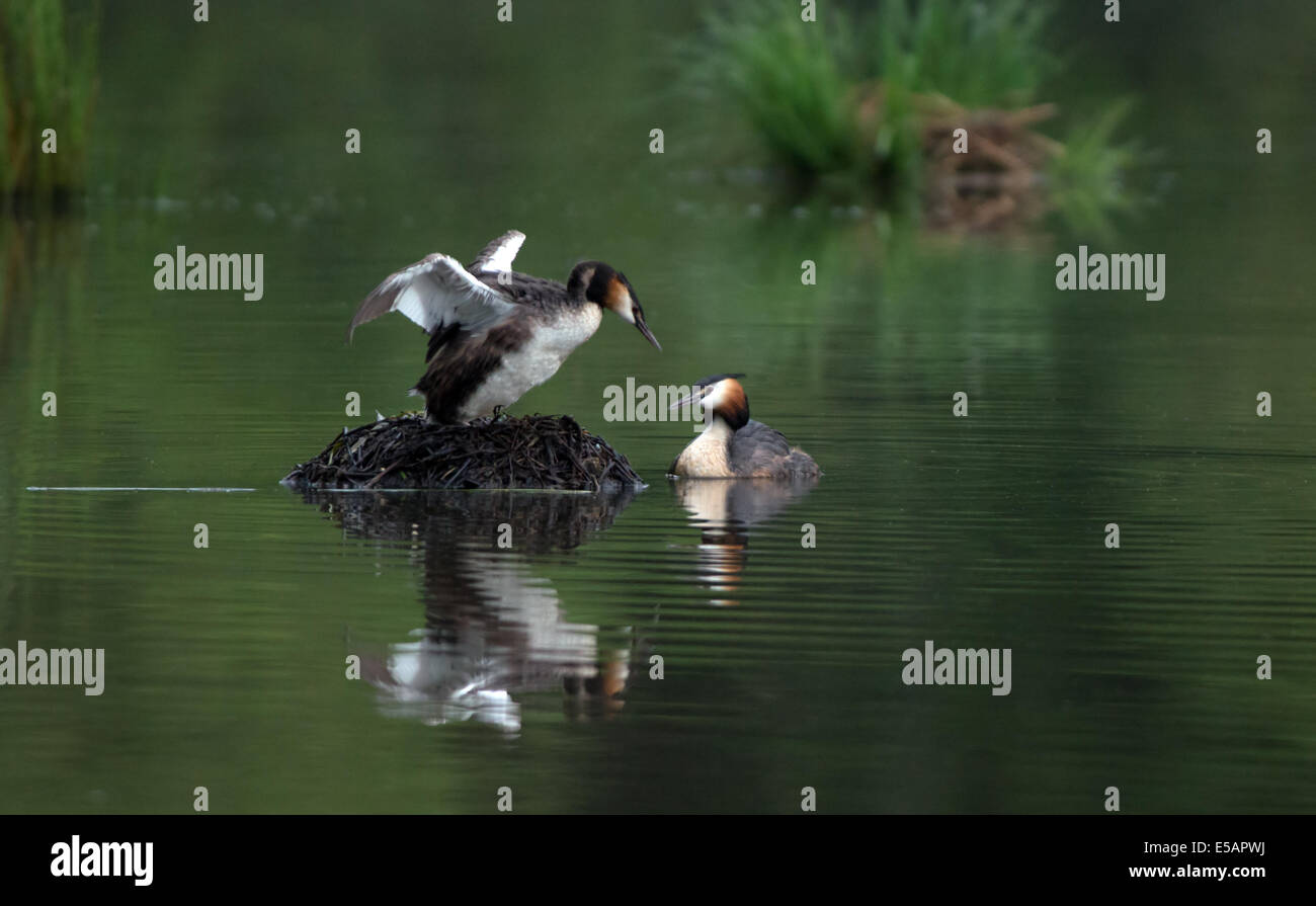 Male And Female Great Crested Grebes-Podiceps cristatus,Take Turns  To Incubate Eggs On The Nest. - Stock Image
