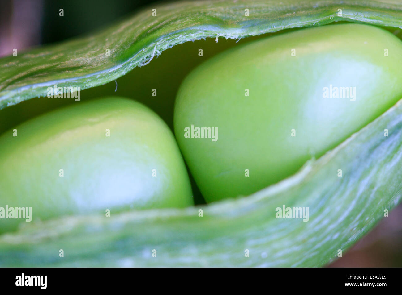 Two peas in a pod just harvested from a home garden - Stock Image