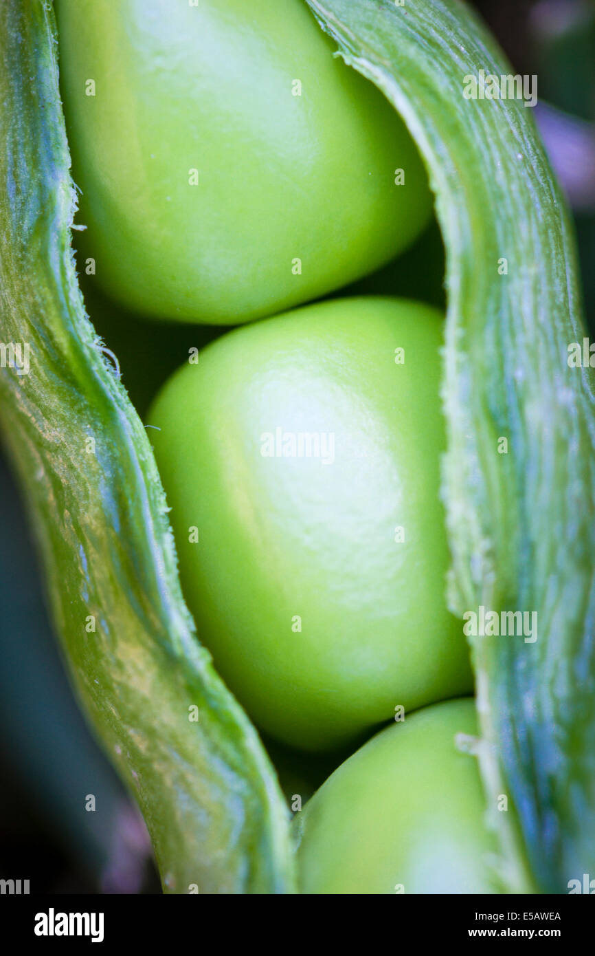 Three peas in a pod just harvested from a home garden - Stock Image
