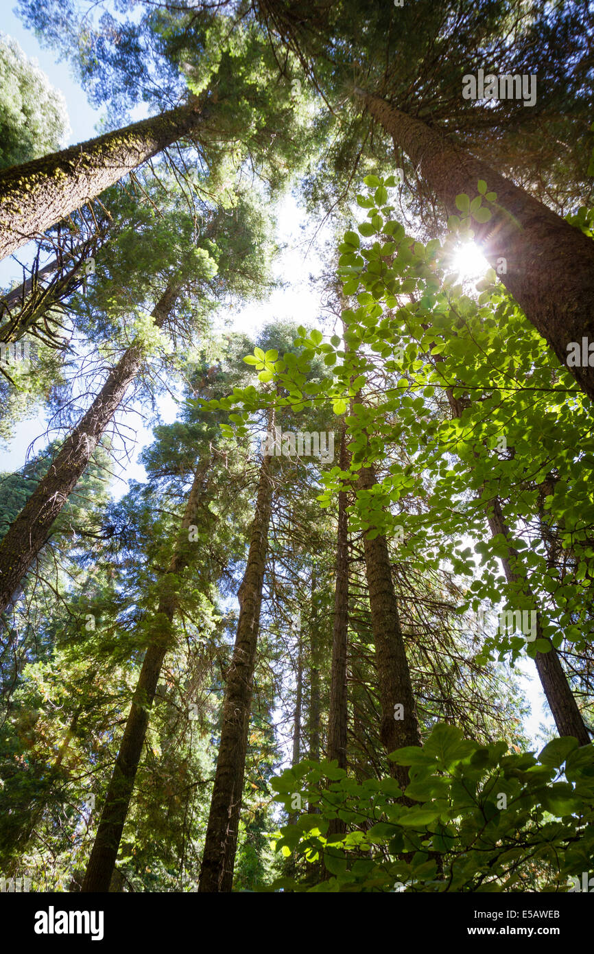 Looking up at tall redwood trees with sun flare peaking through forest in California Stock Photo
