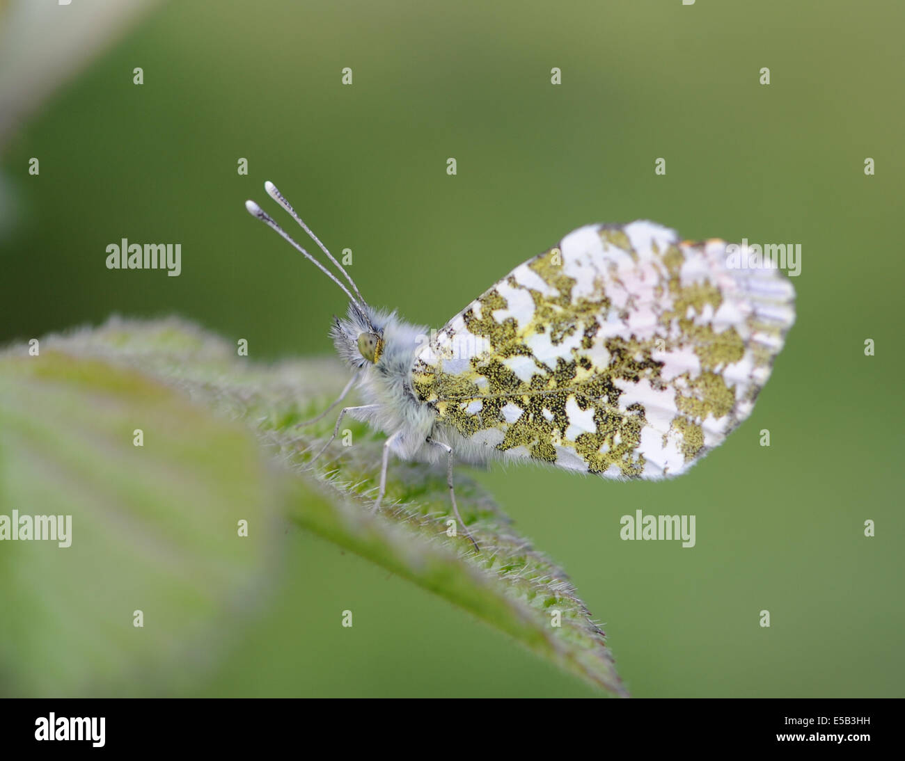 A male Orange Tip butterfly (Anthocharis cardamines) with wings closed. Bedgebury Forest, Kent. UK Stock Photo