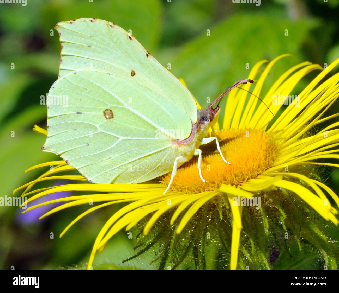 A  Brimstone Butterfly (Gonepteryx rhamni) feeds on a yellow Inula hookeri flower. Stock Photo