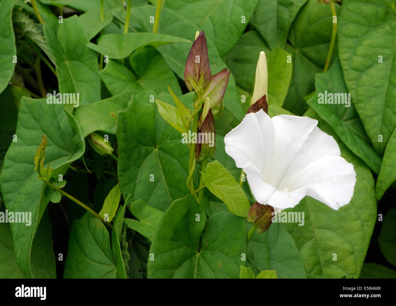 Trumpet shaped flower stock photos trumpet shaped flower stock the white trumpet shaped flower buds and leaves of great bindweed calystegia silvatica mightylinksfo