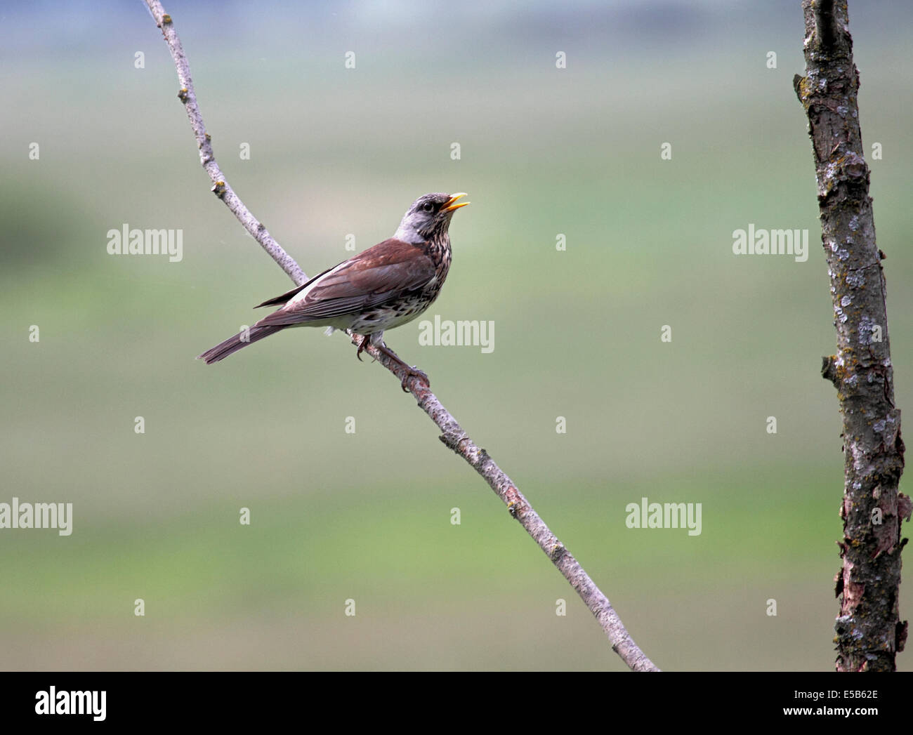 Fieldfare on dead branch in breeding grounds in Poland - Stock Image