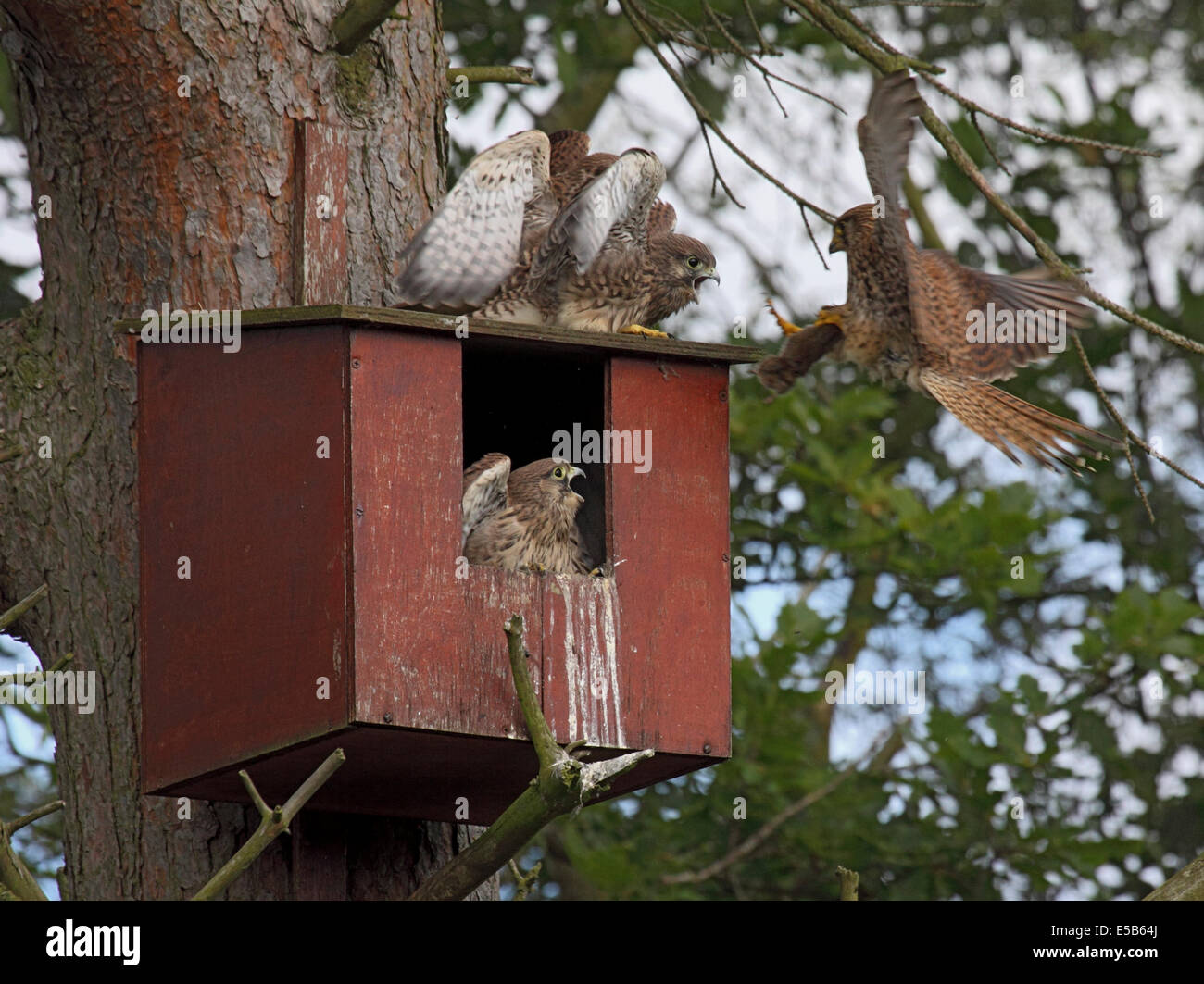 Kestrel female bringing in Bank vole to feed fledgling chicks breeding in nestbox in woodland in Northern England - Stock Image