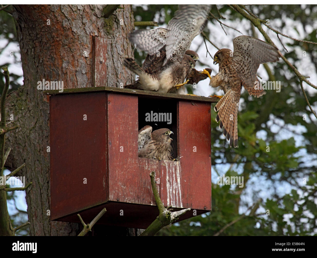 Kestrel female feeding young with bank vole in nestbox in woodland in Northern England - Stock Image