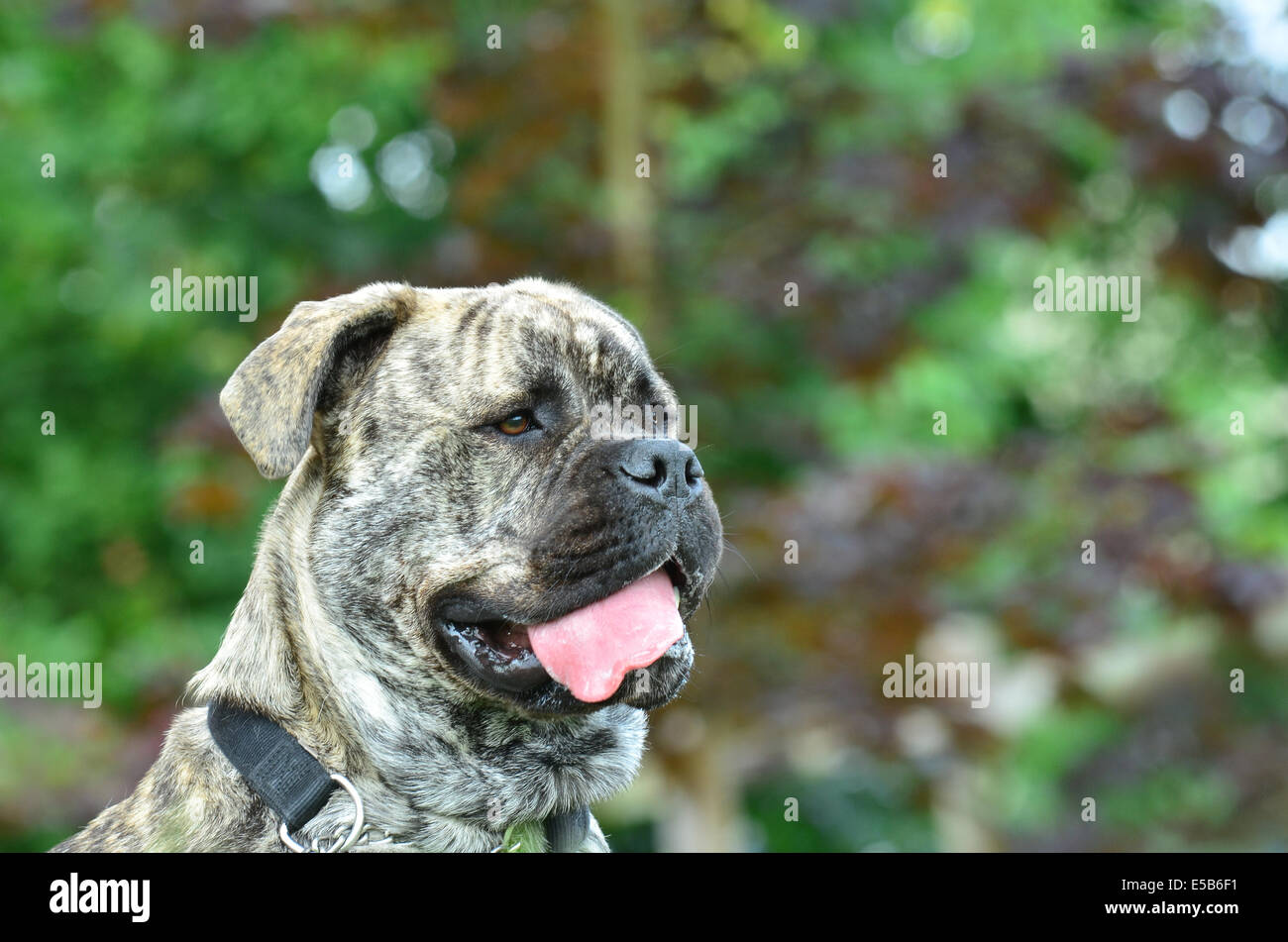 Brindle coloured bullmastiff alert with her tongue out - Stock Image