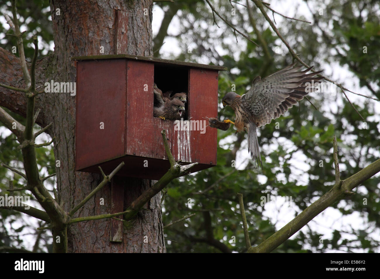 Kestrel male flying in to nestbox with Bank vole in woodland in Northern England - Stock Image
