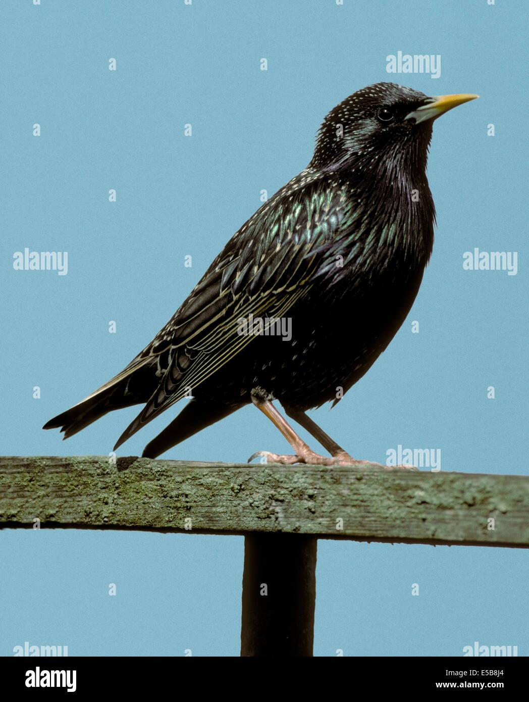 Starling Sturnus vulgaris - Stock Image