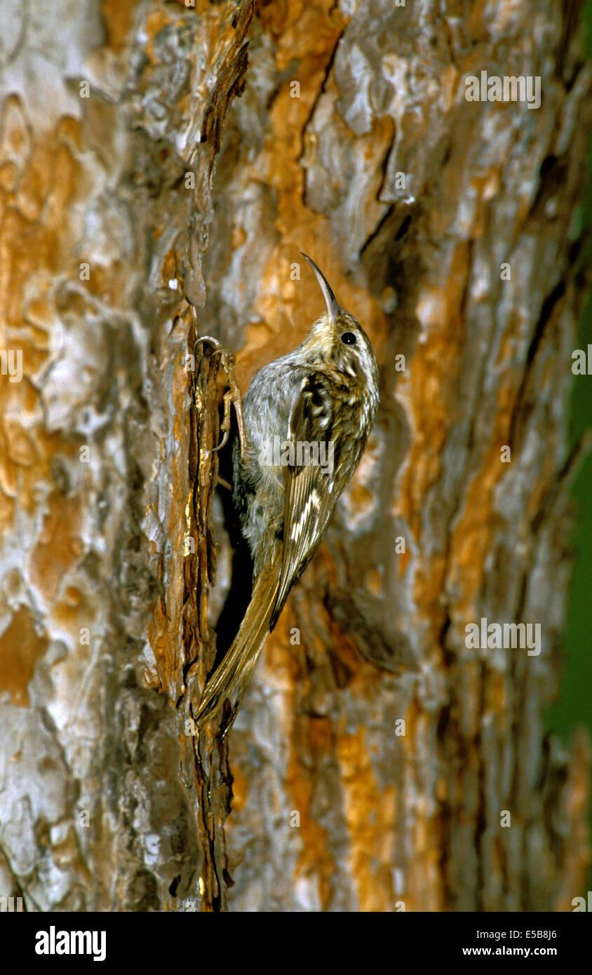 Short-toed Treecreeper - Certhia brachydactyla - Stock Image