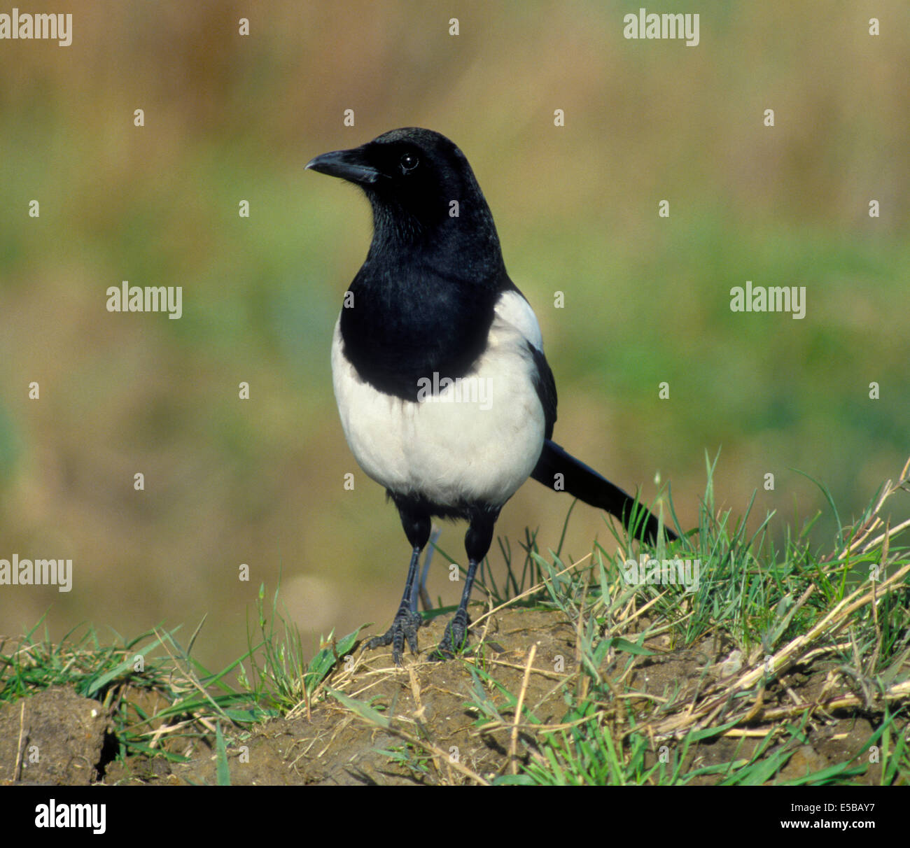 Magpie Pica pica L 45-50cm. Unmistakable black and white, long-tailed bird. Seen in small groups outside breeding - Stock Image