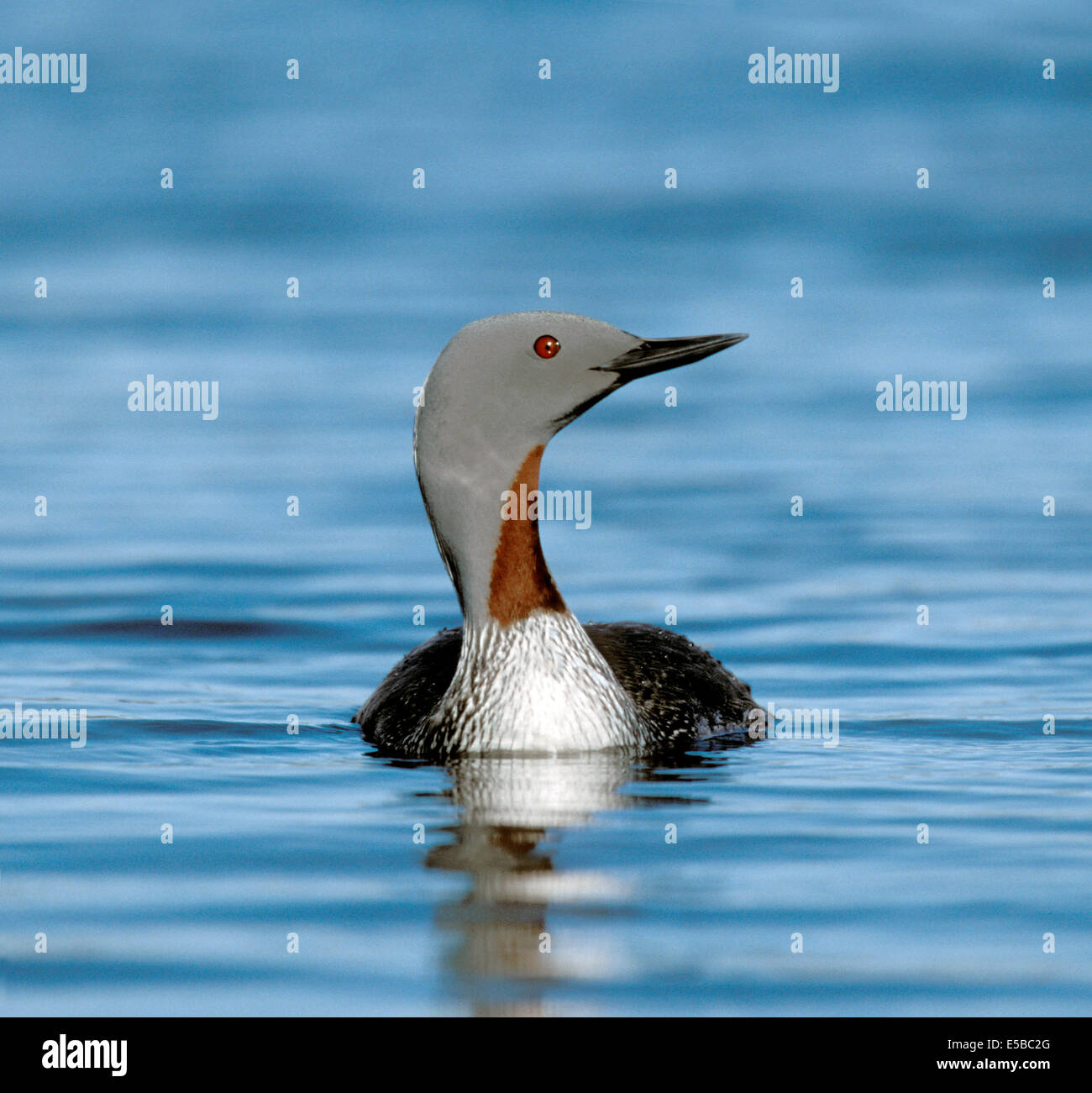 Red-throated Diver Gavia stellata - Stock Image