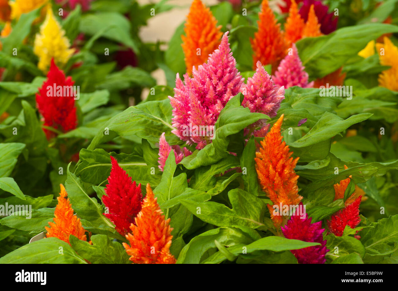 Brightly Coloured Celosia Kimono Commonly Known as plumed cockscomb - Stock Image