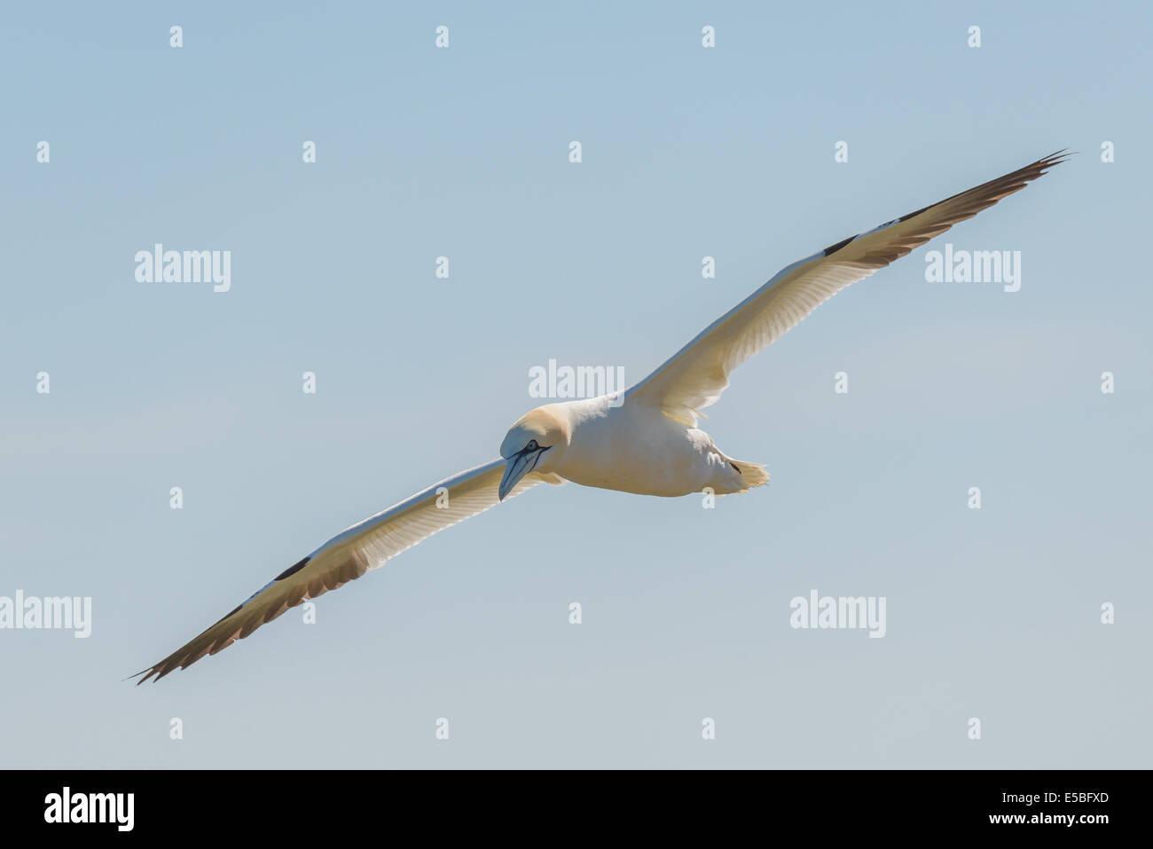 A northern gannet (Morus bassanus; Sula bassana) glides in flight flying airborne against a hazy blue sky UK. - Stock Image