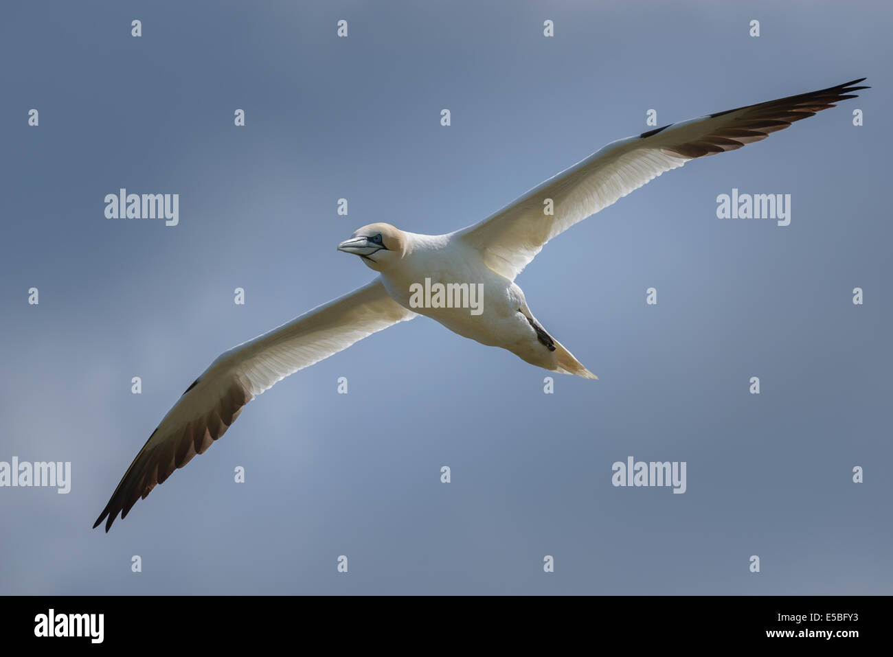 A northern gannet (Sula bassana; Morus bassanus) airborne in flight flying soars against a cloudy sky; UK. - Stock Image