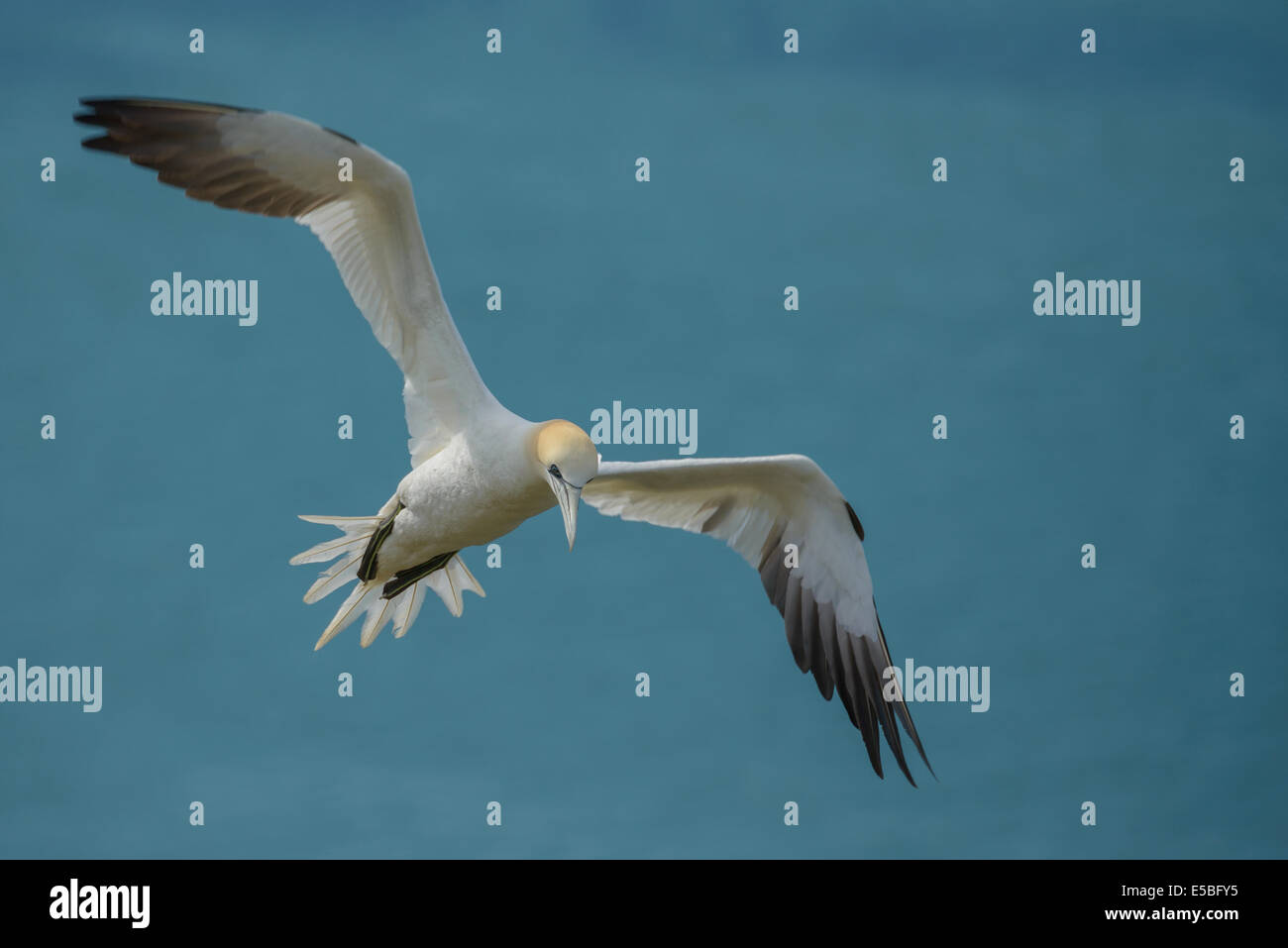 A northern gannet Sula bassana; Morus bassanus) airborne in flight flying above the North Sea; UK. - Stock Image