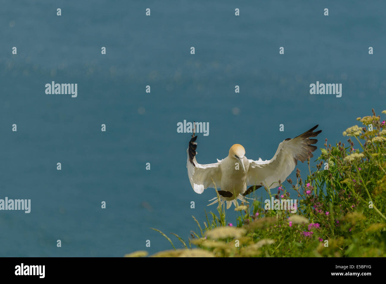 A northern gannet (Morus bassanus; Sula bassana) landing at its nest site on a cliff face; UK. - Stock Image