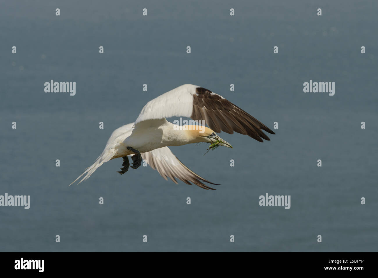 A northern gannet with nesting material in its beak, in flight soaring soars above the North Sea; UK - Stock Image