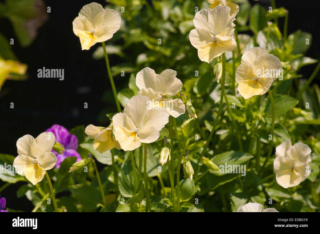 Pale Yellow Viola ' Dawn ' Commonly Known as Violets - Stock Image