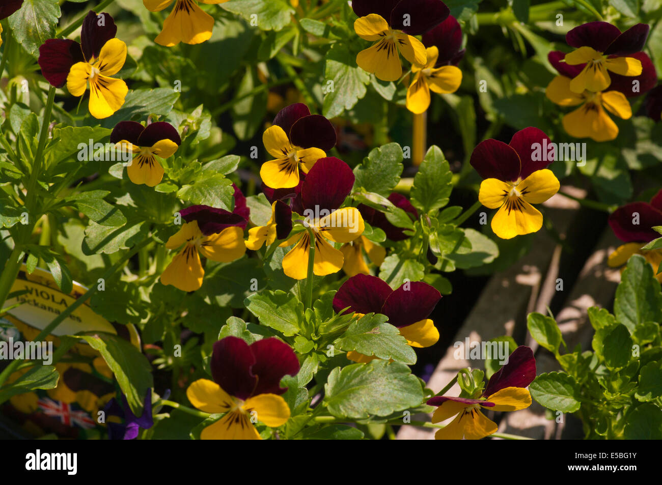 Purple and Yellow Viola ' Jackanapes ' Commonly Known as Violets - Stock Image