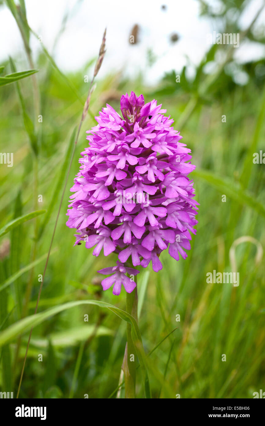 Pyramidal orchid, Anacamptis pyramidalis, Chiltern Hills, Bedfordshire - Stock Image