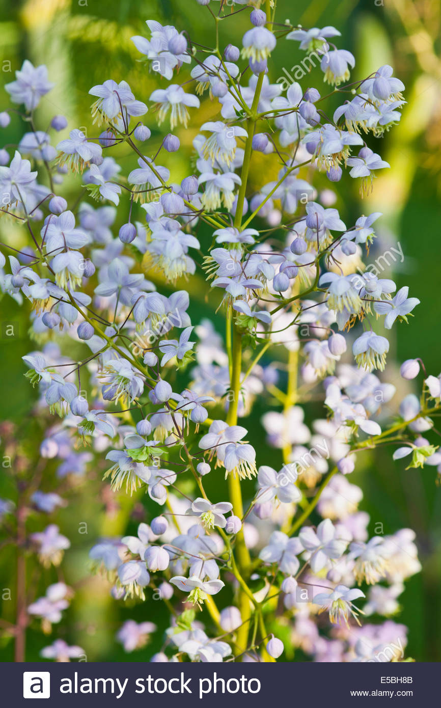Thalictrum delavayi Chinese meadow rue flower summer tall perennial July pale lilac mauve garden plant blooms blossoms - Stock Image