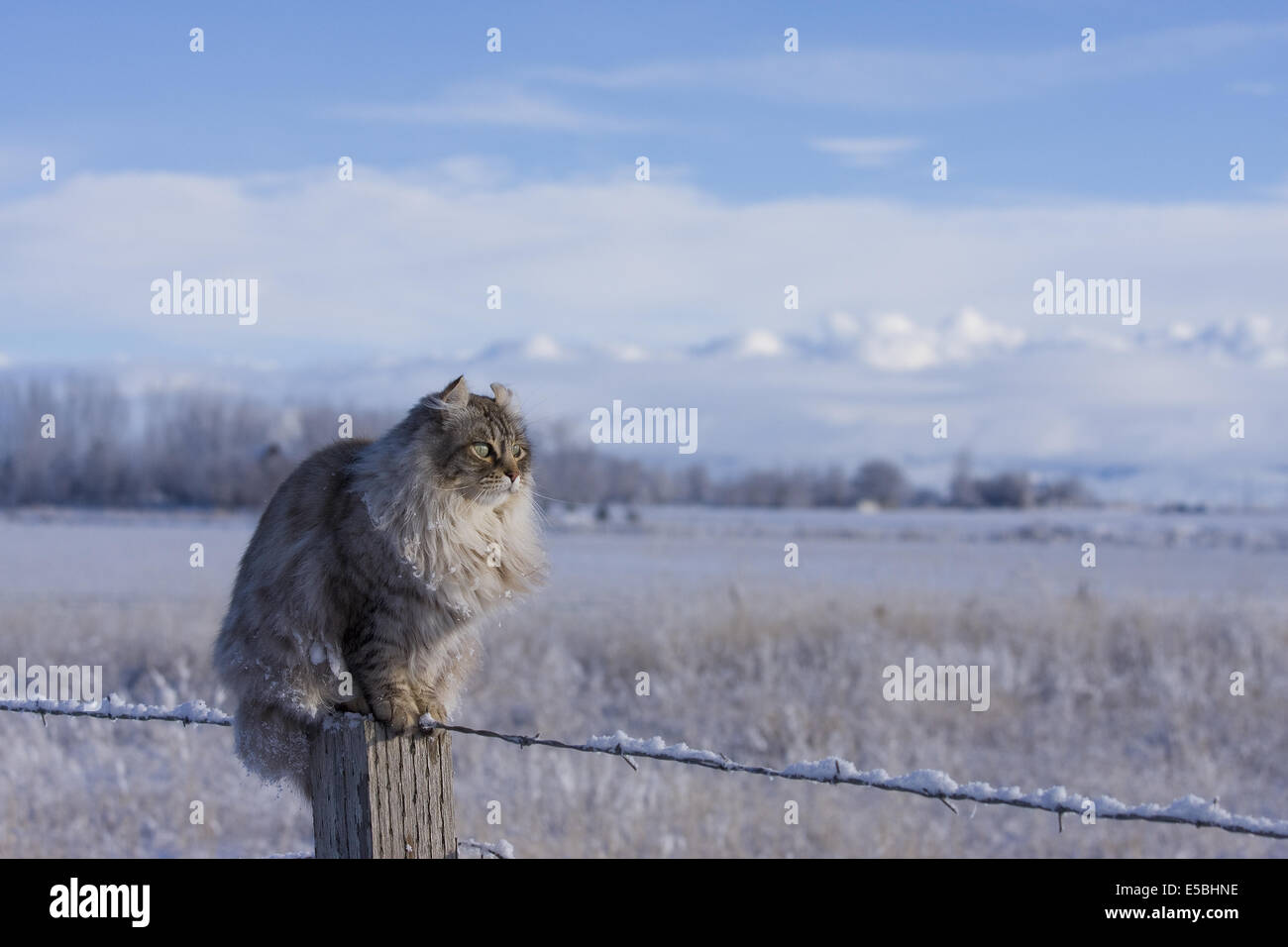 Highland Lynx cat sitting on fence post in the winter with snow and mountains in the background - Stock Image