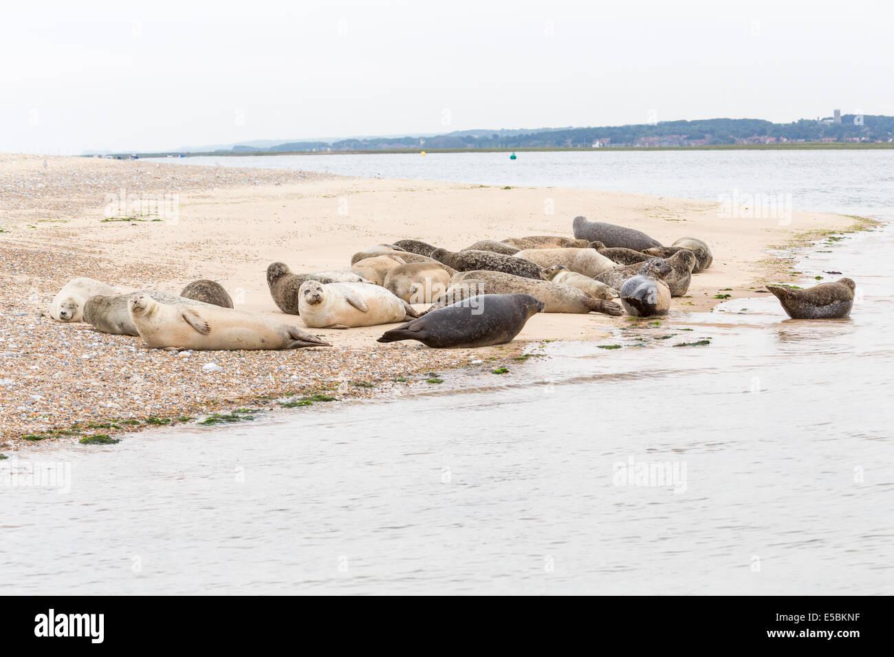 Sleepy common seals (Phoca vitulina) laze on the shore at Blakeney Point, north Norfolk - Stock Image