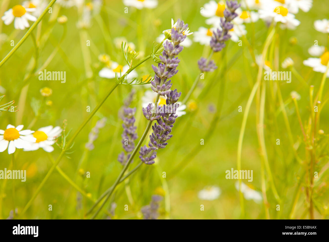 chamomiles and lavenders growing together - Stock Image