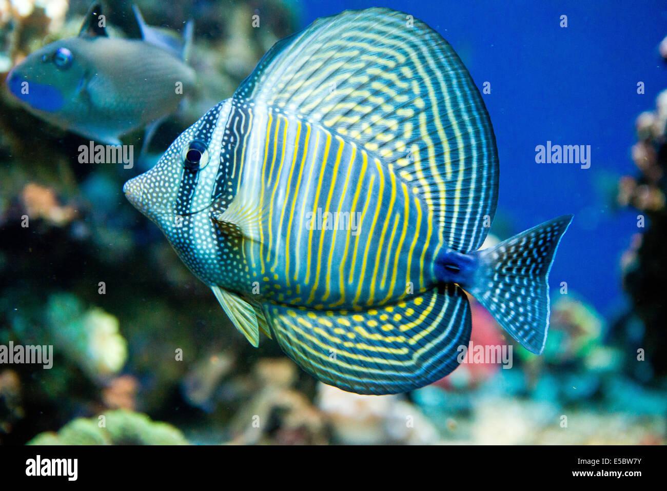 Saltwater Aquarium Fish Zebrasoma Desjardini Stock Photo Alamy